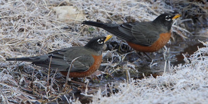 American Robin in winter.