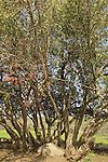 Israel, Shephelah, Carob tree in Hurvat Midras