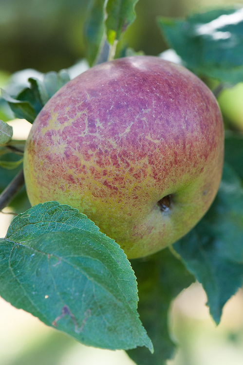 Apple 'Brabant Bellefleur', late September. A widely grown Dutch culinary apple of uncertain origin. Dates back to at least the late 1700s. Synonyms include 'Glory of Flanders' and 'Iron Apple'.