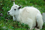 A young mountain goat kid (Oreamnos americanus) in green grass, Glacier National Park, Montana