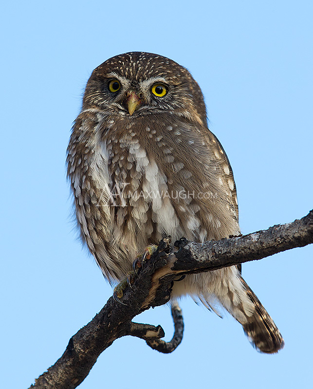 This was the first pygmy owl species I ever photographed.  It was nice to have another opportunity.