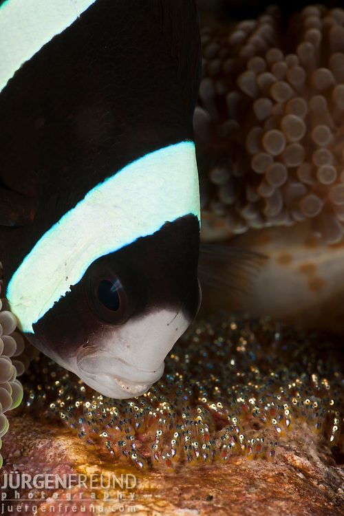 Clarke Anemonefish (Amphiprion clarkii) fanning her eggs.