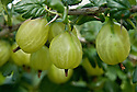 Gooseberry 'Invicta', mid June.