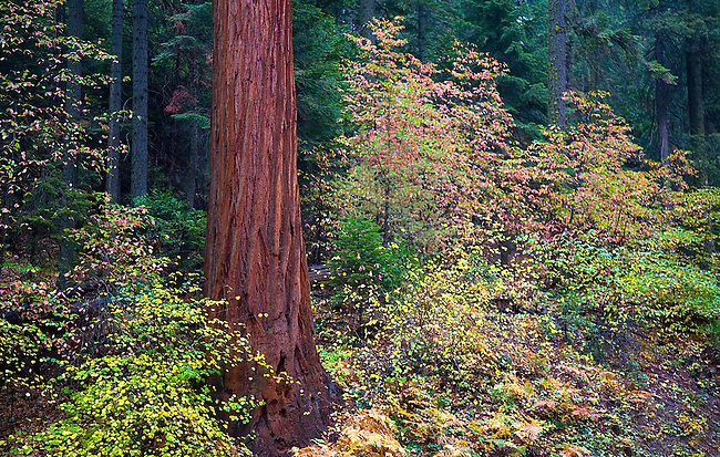 FALL FOILAGE SURROUNDS A GIANT SEQUOIA TREE DURING AUTUMN AT SEQUOIA NATIONAL PARK, CALIFORNIA