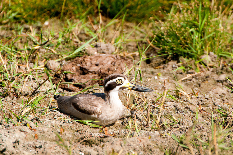 Great stone-curlew or Great thick-knee (Esacus recurvirostris) is a large wader which is a resident breeder in tropical southern Asia from India, Pakistan, Sri Lanka into South-east Asia. Bundala National Park - Sri Lanka.