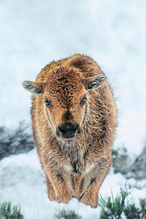 610658552a a wild bison calf bison bison stands in a late spring snowdrift in the hayden valley of yellowstone national park in wyoming