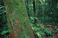 Iguanid Lizard<br /> Enyalioides laticeps<br /> E. Ecuador