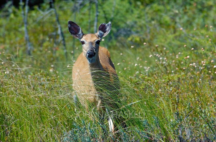 Whitetail deer in cotton grass in the wilderness of Maine.