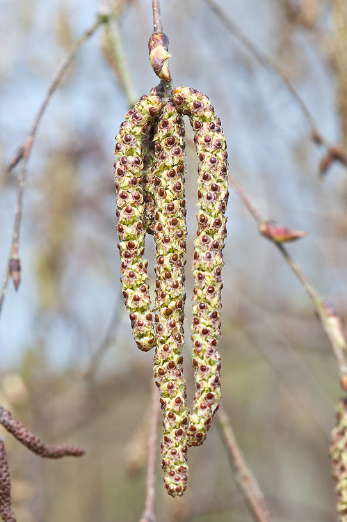Male catkins of Erman's birch (Betula ermanii 'Polar Bear'), late March.