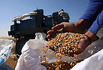 Palestinian farmers harvest wheat in the West Bank village of Abu Falah, north of Ramallah, on June 11, 2011. Photo by Issam Rimawi