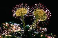 Rundblättriger Sonnentau, Blatt mit Klebtropfen, Drosera rotundifolia, common sundew, round-leaved sundew