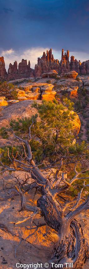 Utah juniper and the Needles at sunset, Canyonlands National Park, Utah    Juniperus osteosperma