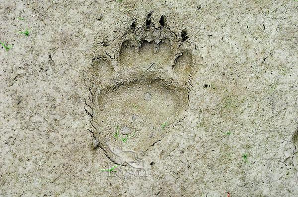 Black Bear (Ursus americanus) track--hind foot-- in mud along pond edge.  Western U.S., summer.