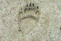 Black Bear (Ursus americanus) track--hind foot-- in mud along pond edge.  Western U.S., summer.