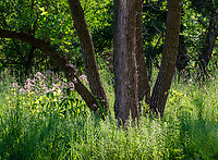 Cottonwood trees shade a savanna area with wildflowers underneath, Rock Run Forest Preserve, Will County, Illinois