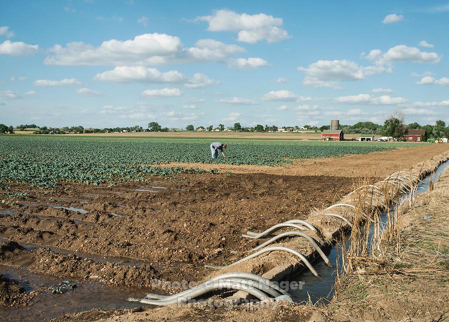 Owner of Sakata Family Farms, Robert Sakata on his farm in Brighton, Colorado, Thursday, June 19, 2015. Sakata Family Farms grows onion, barley, broccoli, sweet corn and cabbage.<br /> <br /> Photo by Matt Nager