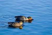 Green-winged Teal (Anas crecca) pair.  Pacific Northwest. Winter. The green-winged teal is one of North America's smallest ducks, weighing around 12 ounces.  It has a wingspan of 23 inches and an overall length of 14 inches.