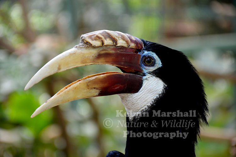 Female Blyth's hornbill (Rhyticeros plicatus), also known as the Papuan hornbill, is a large hornbill inhabiting the forest canopy in Wallacea and Melanesia. Its local name in Tok Pisin is kokomo. Previously, this hornbill was placed in the genus Aceros. It has often been lumped with the plain-pouched hornbill (R. subruficollis), and sometimes considered to include the Narcondam hornbill (R. narcondami) and the wreathed hornbill (R. undulatus) as subspecies.