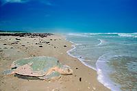 Kemp's ridley sea turtle, Lepidochelys kempii ( endangered ), returns to sea after nesting, Rancho Nuevo, Mexico ( Gulf of Mexico ), Atlantic Ocean