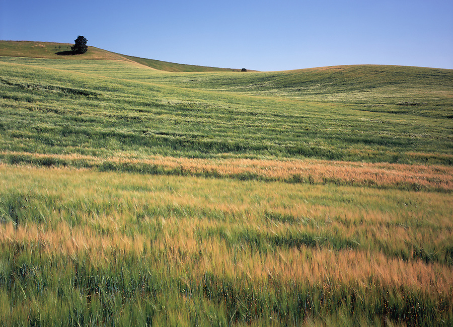 Warm bands of wheat and grass give a feeling of serenity in the Palouse area of Eastern Washington State.