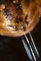 Vierfleck-Kreuzspinne, Kreuzspinne mit Spinndrüsen, Spinndrüse, Spinnwarzen mit austretendem Spinnfaden, Spinnfäden, SpinnennetzAraneus quadratus,