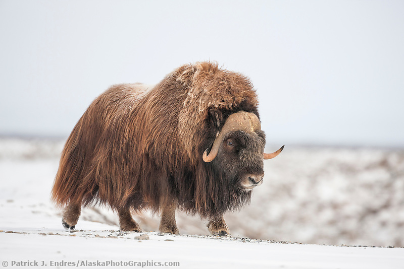 Adult bull muskox walks along the snowy tundra of Alaska's arctic north slope.