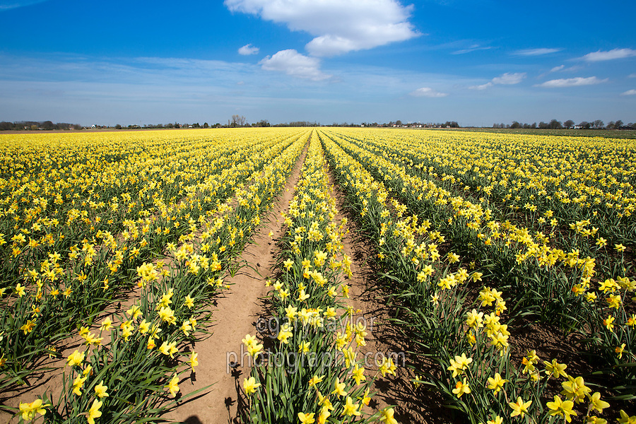 Field of daffodils in flower - April, South Lincolnshire
