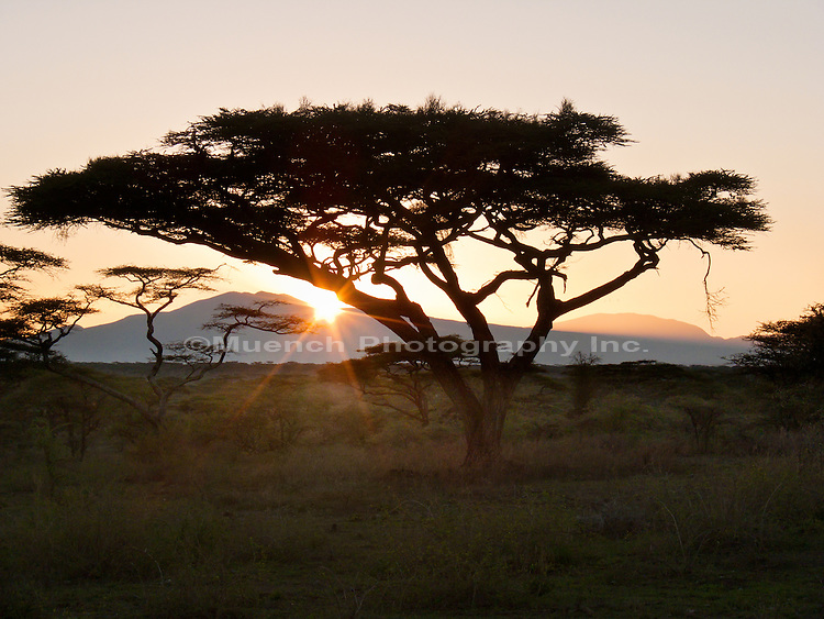 Acacia Trees, Serengeti National Park, Tanzania
