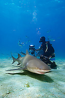 Lemon Shark, Negaprion brevirostris, and scuba divers, West End, Grand Bahama, Atlantic Ocean