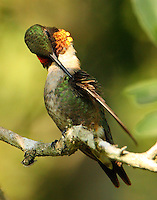 Male ruby-throated hummingbird preening