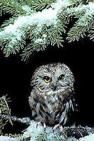 OW02-308z  Saw-whet owl - Aegolius acadicus