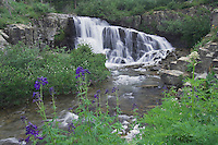 Mountain stream and wildflowers Yankee Boy Basin,Tall Larkspur,Delphinium barbeyi, Blue Columbine, Ouray, San Juan Mountains, Rocky Mountains, Colorado, USA