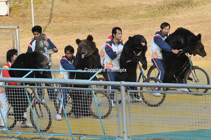 Exhausted Asiatic brown bears are forced to ride bicycles during a Lunar New Year special event at Xili Safari Park, Shenzhen, China. The bears are forced to march, race bicycles, do gymnastics, wrestle, and even ride a motor-bicycle 20 meters above the crowd.  ..PHOTO BY SINOPIX