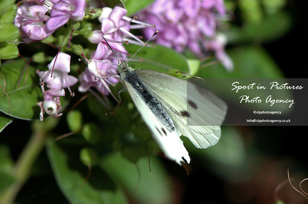 A Large White Butterfly, Pieris brassicae, on a hebe