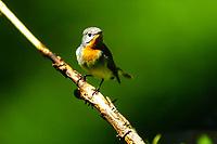 Zwergschnäpper, Männchen, Zwerg-Schnäpper,  Ficedula parva, red-breasted flycatcher, male, Le Gobe-mouche nain