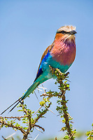 Lilac-breasted Roller perches on a branch in the Serengeti National Park, Tanzania, East Africa