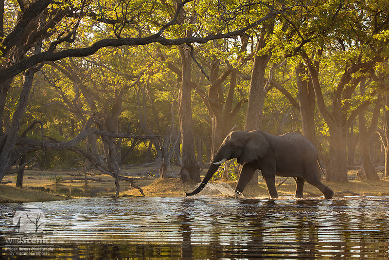 A Bull Elephant strolls through the water at the tranquil Paradise Pools in Botswana's Okavango Delta.