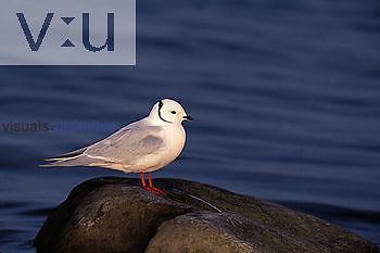 Ross' Gull Churchill, Manitoba, Canada
