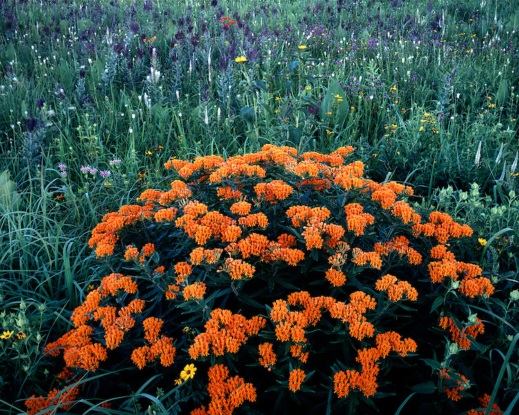 Butterfly Weed (Asclepis tuberosa) and Leadplant (Amorpha canescens) in bloom; The Morton Arboretum, IL