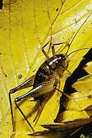 OR05-010b  Cricket - female camel cricket