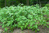 Potatoes plants growing vegetable garden on hill mound
