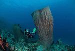 Big barrel sponge in coral reef with diver