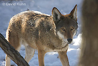 0221-1005  Critically Endangered Red Wolf in Snow, Canis rufus (syn. Canis niger)  © David Kuhn/Dwight Kuhn Photography.