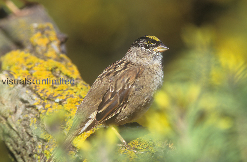 Golden-crowned Sparrow (Zonotrichia atricapilla), California, USA.