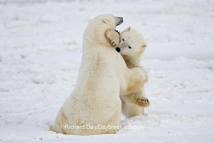01874-11303 Polar Bears (Ursus maritimus) sparring, Churchill Wildlife Management Area MB