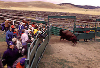 A bison being released from a corral during herd selection at the Annual Buffalo Roundup Custer State Park South Dakota.