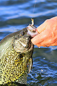 00247-011.15 Black Crappie caught on jig is being held by anglers hand.  Male, black, spawn, spring.