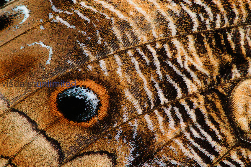 Close-up of the eyespots on the wing of an Owl Butterfly ,Caligo memnon, Family Nymphalidae, Central America.