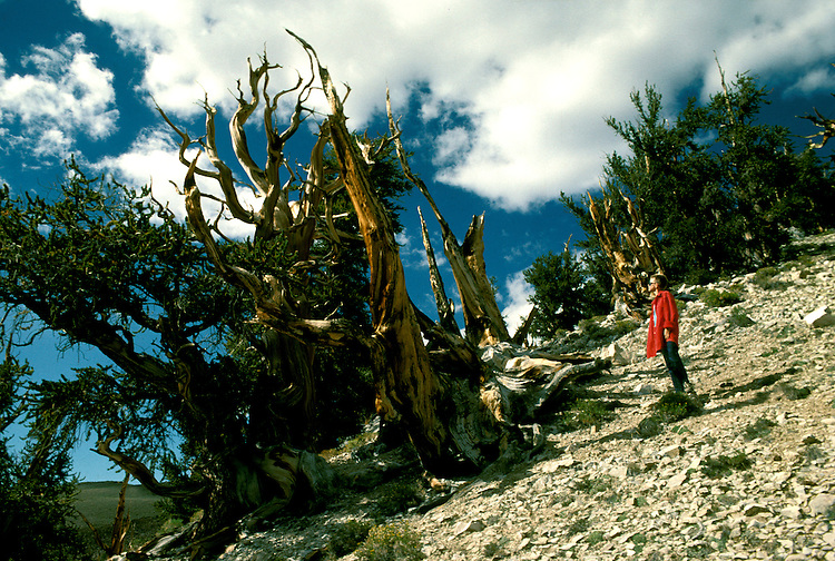 CA: Bristlecone Pines, Pine Alpha, Schulman Grove, catree104   .Photo copyright Lee Foster, 510/549-2202, lee@fostertravel.com, www.fostertravel.com