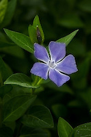 Vinca Bloom